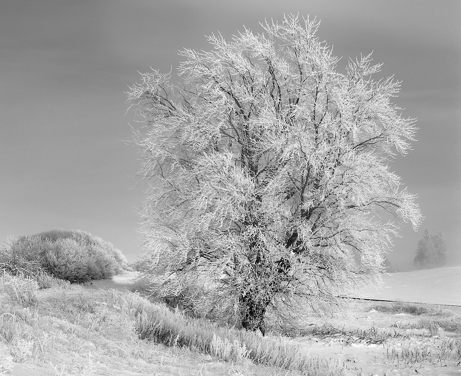 Hoarfrost covers a singular tree on a cold winter morning in the Palouse of Eastern Washington State.