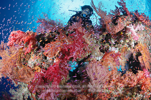 qe0773-D. scuba diver (model released) admires healthy coral reef, on which multi-hued soft corals (Dendronephthya sp.), gorgonian sea fans (Melithaea sp.), and different species of anthias fish (Pseudanthias spp.) thrive. Fiji, tropical Pacific Ocean..Photo Copyright © Brandon Cole. All rights reserved worldwide.  www.brandoncole.com..This photo is NOT free. It is NOT in the public domain. This photo is a Copyrighted Work, registered with the US Copyright Office. .Rights to reproduction of photograph granted only upon payment in full of agreed upon licensing fee. Any use of this photo prior to such payment is an infringement of copyright and punishable by fines up to  $150,000 USD...Brandon Cole.MARINE PHOTOGRAPHY.http://www.brandoncole.com.email: brandoncole@msn.com.4917 N. Boeing Rd..Spokane Valley, WA  99206  USA.tel: 509-535-3489