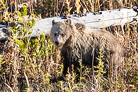 Snow, the grizzly cub.  Snow is the remaining cub of the sow Rasberry.