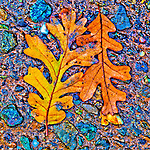 Oak leaf on the pavement during autumn, Peek Hill, Jackson