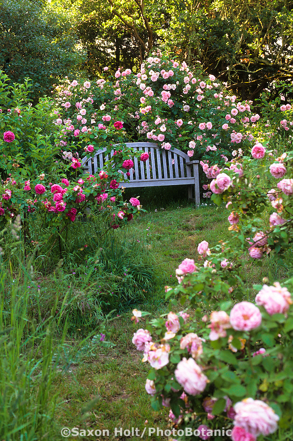 Garden bench with climbing roses (Heirloom rose 'Fritz Nobis') - credit MIchael Bates