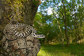 Four-lined Snake (Elaphe quatuorlineata), Croatia