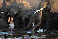 Thirsty elephants (loxodonta africana) at the Chobe River, Botswana. Chobe National Park is full of elephants - at times an estimated 25.000 animals along 42 kilometers of river front. The huge number of hungry elephants have a disastrous impact on the forest - many areas looks like a moon landscape. <br /> September 2007.