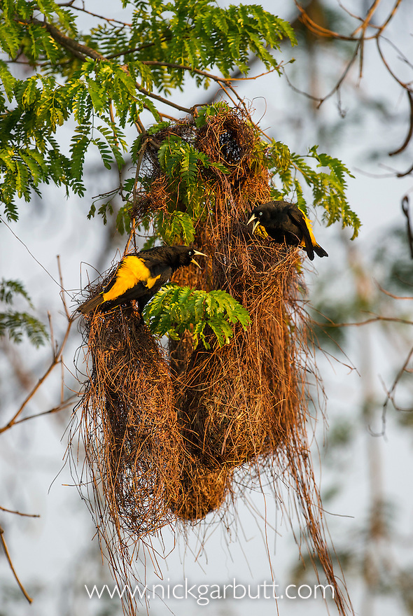 Yellow-rumped Caciques | Nick Garbutt
