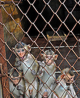 China Monkeys Bred for Vivisection