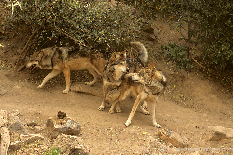 North America, Americas, USA, United States, Arizona. Mexican Gray Wolves at the Arizona-Sonora Desert Museum.