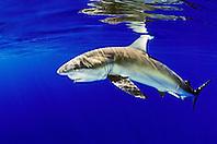 Galapagos shark, Carcharhinus galapagensis, feeding on bait fish, offshore, North Shore, Oahu, Hawaii, USA, Pacific Ocean