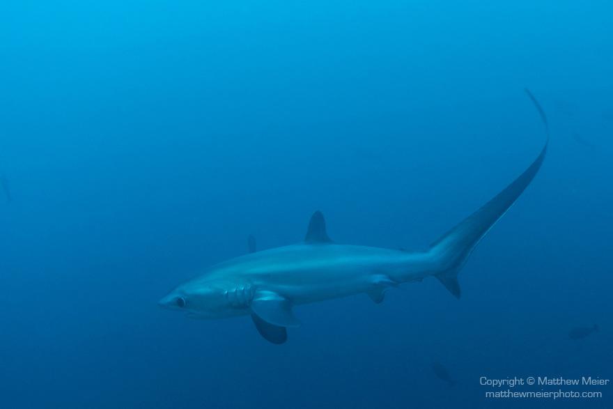 Malapascua Island, Cebu, Philippines; a Thresher Shark swims past the cleaning station at Monad Shoal