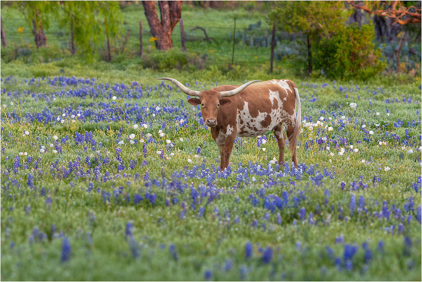 While scouting for fields of Texas Wildflowers, I found this longhorn in a patch of texas bluebonnets in Blanco Country. Had to use a telephoto lens, but he smiled!