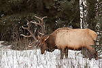A bull elk is seen walking and feeding on branches poking out from the snow.