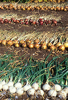 Onion variety harvested from garden, white onions, gold yellow onions, red onions, with leaf tops and roots showing, lying on ground, dug up