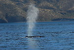 blue whale blowing in Gulf of California