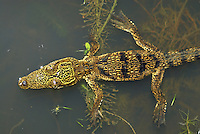 Morelet's Crocodile floating (Crocodylus moreletii), Belize