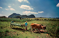 """Cuba, March 1992: Following the harvest , the tobacco is carried on the """"cujes"""" near Vignales in Cuba. It will be stored in the Casa de Tobaco, where it will begin to dry and ferment."""