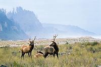 Roosevelt Elk bulls along Gold Bluffs Beach, Prairie Creek Redwoods State Park, Northern California.  Sept.
