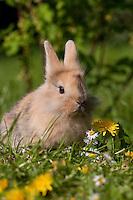 Zwergkaninchen, Zwerg-Kaninchen auf Frühlingswiese, dwarf rabbit