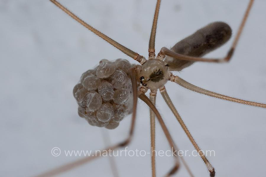 Große Zitterspinne, Weibchen trägt Eikokon mit sich, die Jungspinnen stehen kurz vorm Schlupf, die Beinchen sind duch die Eihüllen zu erkennen, Zitter-Spinne, an der Zimmerdecke in der Wohnung, Pholcus phalangioides, long-bodied cellar spider, longbodied cellar spider