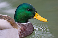 Mallard duck in River Windrush, Burford, The Cotswolds, United Kingdom