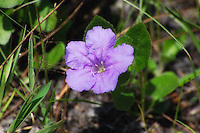 The invasive Mexican bluebell (or ruellia) has escaped cultivated gardens and is now found all over Florida.
