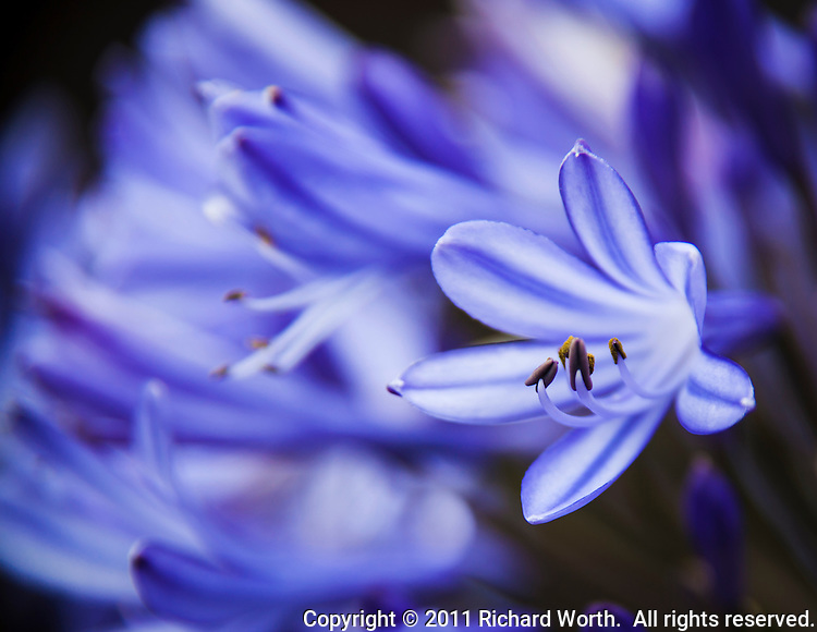 Close-up of an agapanthus  blossom.