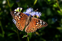 Empress Antonia Butterfly on Blue Mist-Flower