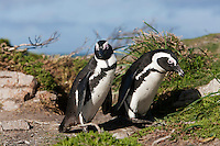 Jackass Penguins or African Penguins (Spheniscus demersus), Betty's Bay, South Africa.