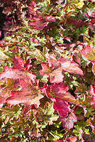 Heuchera 'Ginger Ale' in fall
