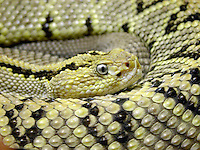 REPTILES<br /> Timber rattlesnake<br /> Adults have rattles located on the end of tail.  A new rattle segment is added each time it sheds its skin..  A &quot;pit viper&quot;, it has heat sensers located between eye and nostril.