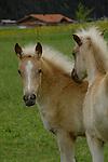 Palomino Foals in pasture, Imst district, Austria.