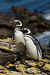 A pair of Magellanic penguins on Steeple Jason Island in the Falkland Islands.