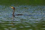 Double-crested Cormorant Sepulveda Wildlife Refuge LA