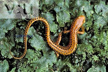 Long-tailed Salamander ,Eurycea longicauda, on liverworts, North America.