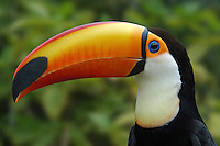 Toco Toucan (Ramphastos toco) is the largest and probably the best known species in the toucan family. It is found in semi-open habitats throughout a large part of central and eastern South America