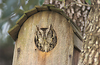 Eastern Screech-Owl, Megascops asio, Otus asio,adult in Nest Box, Willacy County, Rio Grande Valley, Texas, USA