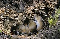 Feldmaus, Junge, Jungtiere, Tierbabies in ihrem unterirdischen Bau, Nest, Feld-Maus, Wühlmaus, Wühl-Maus, Maus, Microtus arvalis, common vole