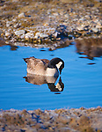 Canada Goose in a quiet spot on a pond in western Montana at the Lee Metcalf Wildlife Refuge