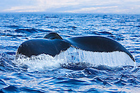 Humpback Whale, fluke up dive, Megaptera novaeangliae, Hawaii, Pacific Ocean.