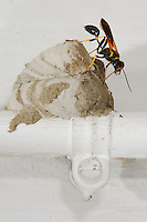 A Mud Dauber Wasp (Sceliphron caementarium) building its nest on a house water pipe