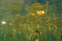 Underwater Scene-Water Lillies<br /> <br /> ENGBRETSON UNDERWATER PHOTO
