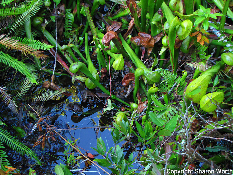 A Cobra lily appears to be leaning over to see it reflection in the water.  Darlingtonias thrive where there is an almost constant but gentle flow of water, like this fen at Darlingtonia Wayside in Oregon.