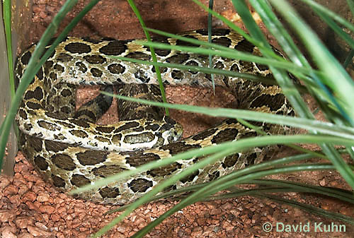 0512-1102  Mexican Lancehead Rattlesnake, Crotalus polystictus  © David Kuhn/Dwight Kuhn Photography