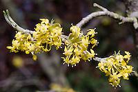 Cornus mas Variegata in spring flowers yellow blooming tree