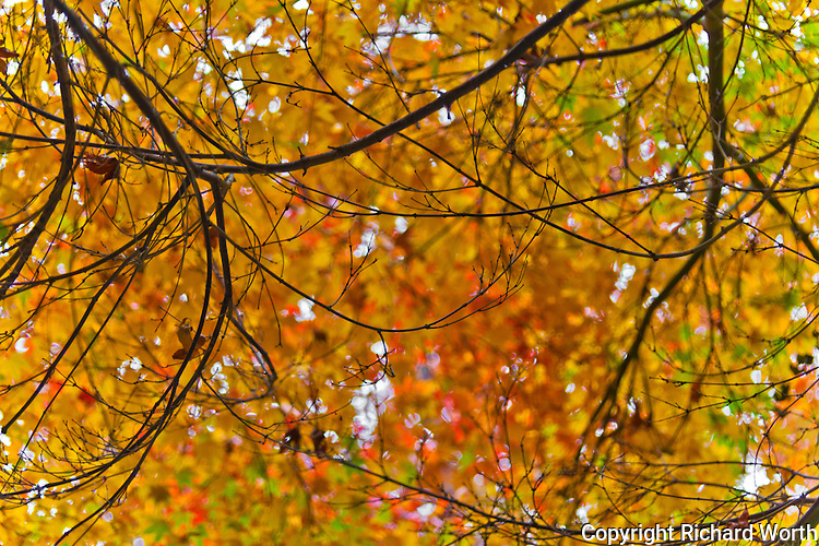 Bare branches create a tangle of lines under a canopy of gold and orange leaves.