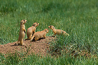 673030036 wild utah prairie dogs cynomys parvidens threatened species group of four at den entrance in bryce canyon national park utah