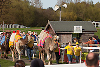 Fakenham, Norfolk, England, 10/04/2011..Camels are paraded before the start of racing at Fakenham National Hunt racecourse. Jockeys wearing fancy dress and representing six local pubs took part in three camel races to race funds for the East Anglian Air Ambulance. The winner was Kerry Sumner from the Crown at Gayton, riding a five year old Pintado dromedary called Sahara.