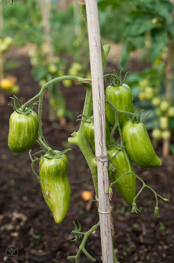 Green plum tomatoes grow, staked, in a Cambridgeshire allotment.