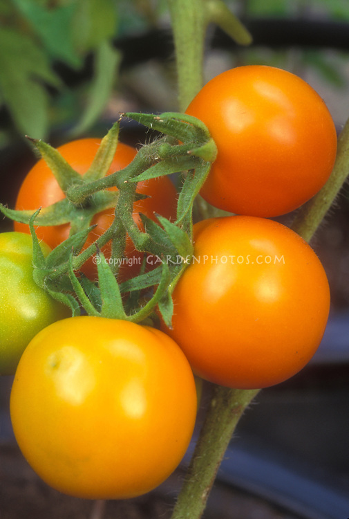 Cherry tomatoes Sungold growing on tomato plant, showing closeup of golden orange vegetable tomato, different color type