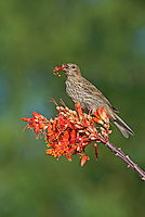 528800261 a wild female house finch podocarpus mexicana feeds on a flowering ocotillo plant foquieria splendens in southern arizona