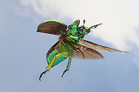 Glorious Scarab Beetle in flight (Chrysina gloriosa), Texas, USA