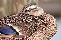 Female Mallard duck resting on a dock in Manteo North Carolina.